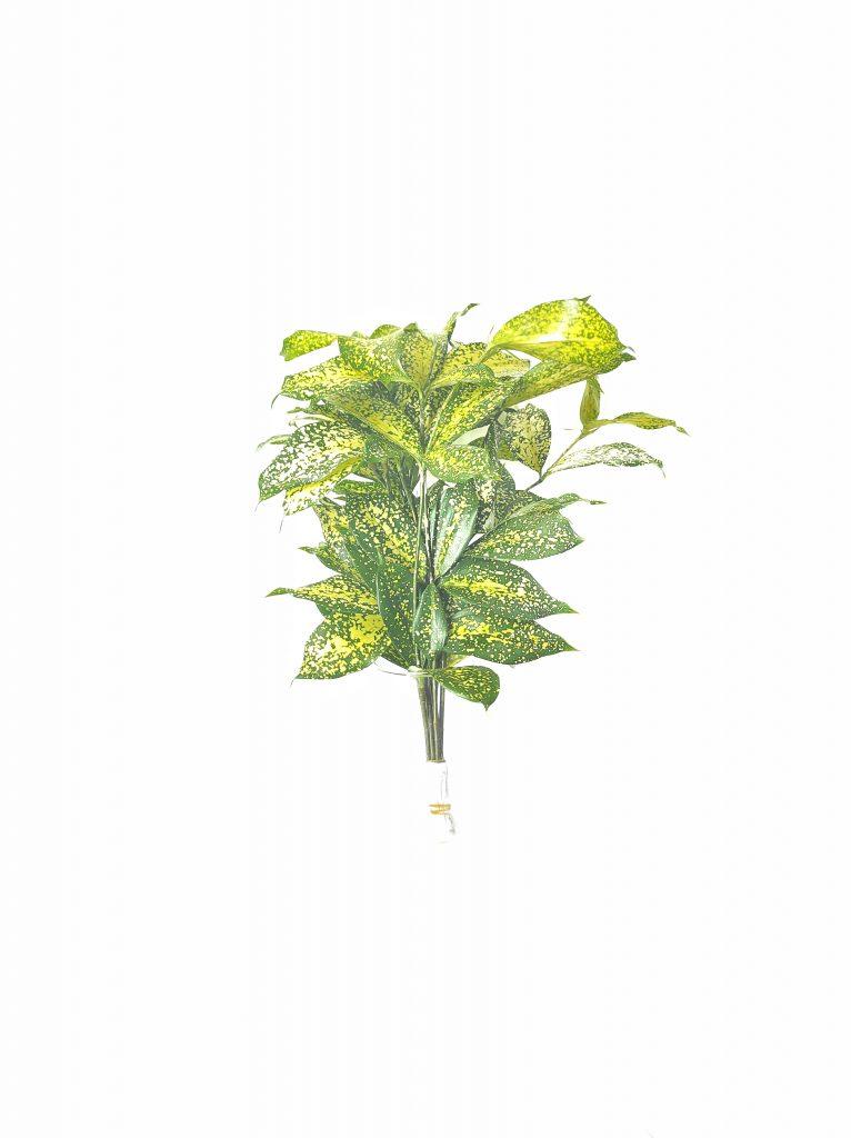 Kanara Exports, Horticulture Industry in sri lanka, Cut Foliage Plants, Cut Foliage in Sri Lanka, Cut foliage exporters in sri lanka, Cut Foliage Industry in Sri Lanka, Cut foliage dubai, Cut foliage buyers in sri lanka, Cut foliage and cut flowers, Cut foliage for florists ,Monstera Delicosia, Calathea Insignis,Cordyline, Caryota Urens Butterfly, Cordyline Green, Rhaphis Excelsa, Cordyline, Livistonia, Draceana Godsofina, Draceana Purple Compacta, Messengeana, Song Of Jamaica, Song Of India